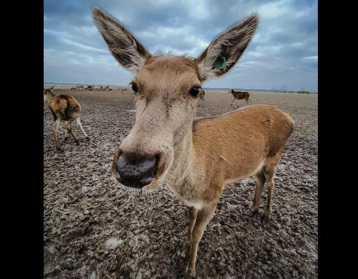 На Сарненщині облаштували ферму оленів