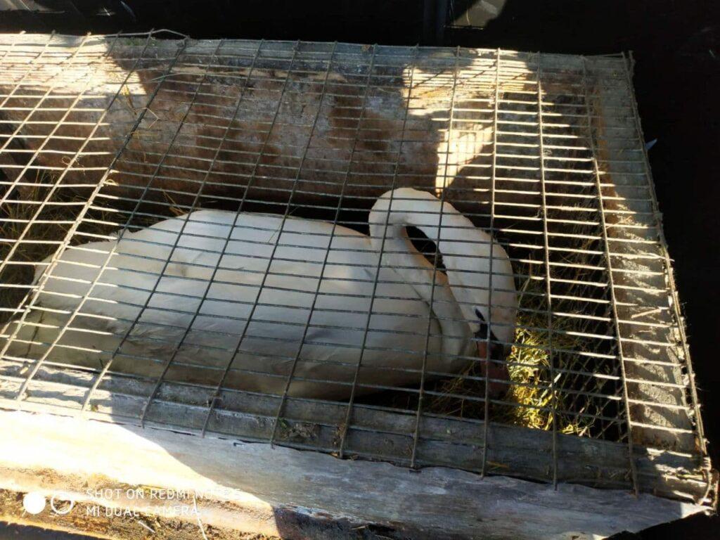 Небайдужі люди на Рівненщині врятували лебедя