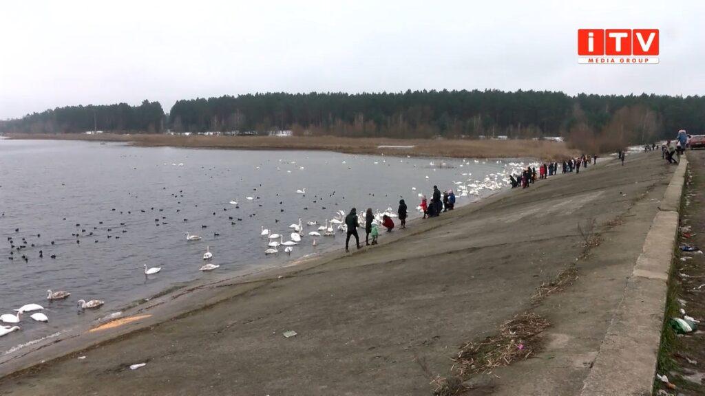 На околицях Острога зимують лебеді (ВІДЕО)