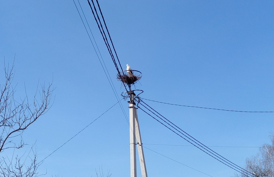 На Рівненщині лелеки будують гнізда на спеціально встановлених кріпленнях