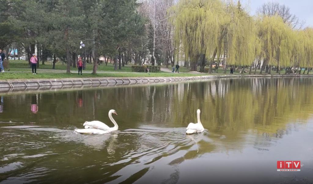 На озеро в центрі Рівного повернулись лебеді (ФОТО, ВІДЕО)