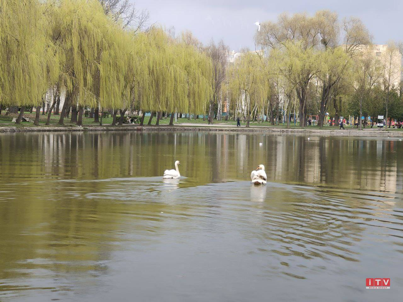 На «Лебединку» повернулись лебеді (ВІДЕО)