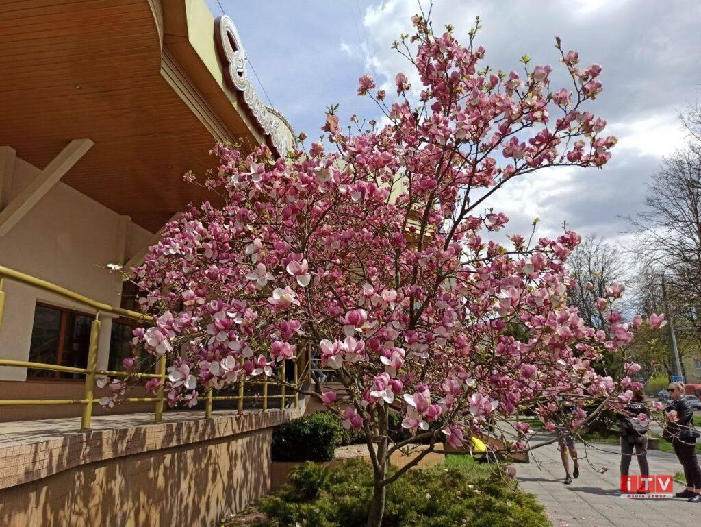Магнолії, сакури, тюльпани: у Рівному квітнуть улюблені фотозони містян